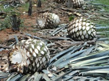 harvested-agaves